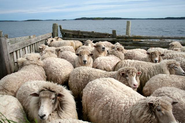 Nash Island Sheep