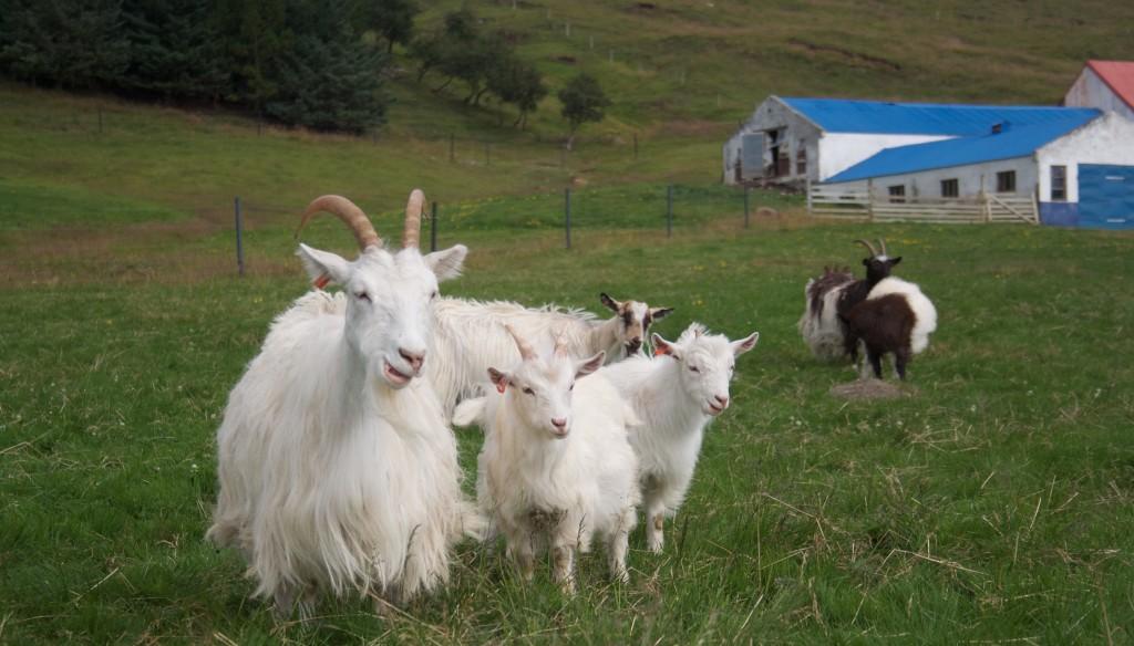 Goats - 1