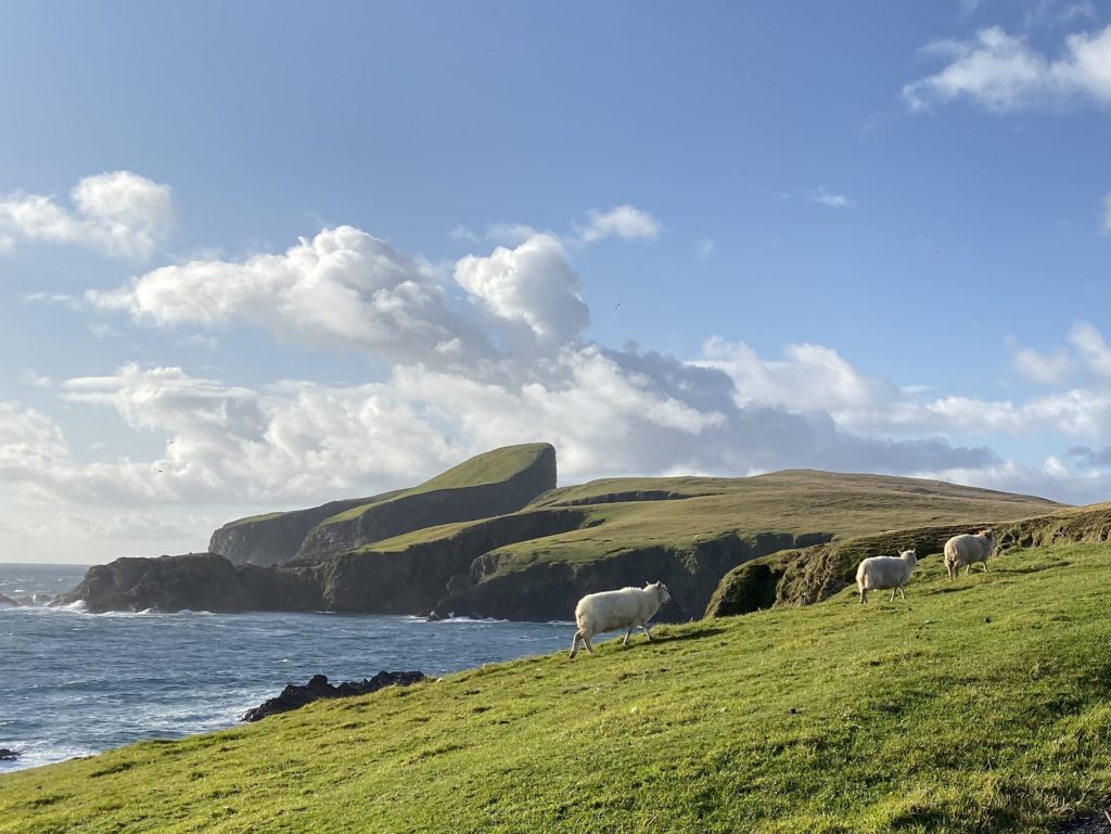 Three sheep rounded up during the caa on Fair Isle. Iconic Sheep Rock in the distance. Bright green grass with blue seas and sky.